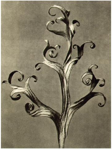 blossfeldt 3