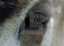 Animal eye copy