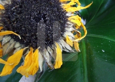 Dead sunflower copy