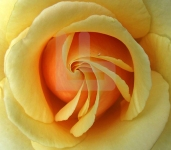 Tight yellow rose copy