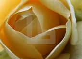 Yellow rose copy